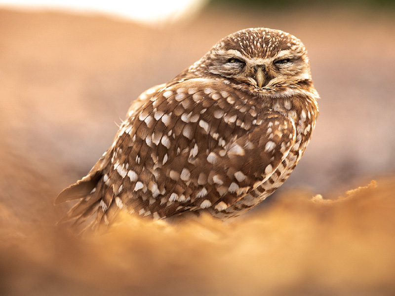 A small, brown and white burrowing owl rests on the ground, eyes partially closed.